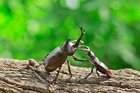 カブトムシとクワガタムシ