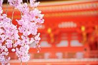 京都府 清水寺の枝垂桜