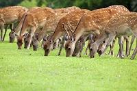 奈良公園 草原の草を並んで食む鹿の群れ