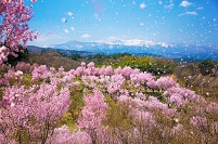 福島県 桜吹雪と吾妻山