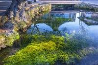 山梨県 忍野八海 湧池