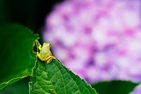 紫陽花とアマガエル