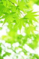 もみじの新緑と木漏れ日