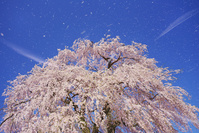 長野県 上田市 信広寺のシダレザクラの花吹雪