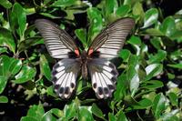 蝶 標本 ナガサキアゲハ 日本