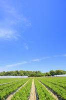 長野県 セロリ畑と青空