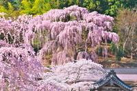 福島県 福聚寺の枝垂桜