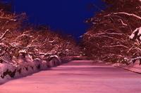 青森県 弘前市 弘前城雪灯籠まつり 冬に咲くさくら