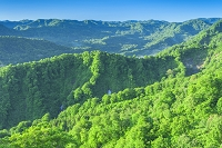 青森県 朝の白神山地のブナ