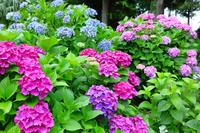 千葉県 紫陽花