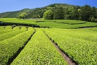 京都府 宇治茶の郷 和束の茶畑