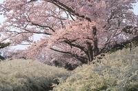 愛知県 愛知緑化センター 朝焼けに染まる桜とユキヤナギ
