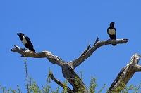 ナミビア エトーシャ国立公園 カラス