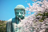 神奈川県 鎌倉市 大仏と桜
