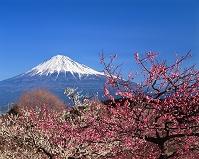 静岡県 富士市 梅と富士山