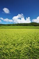 新潟県 稲