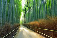 京都府 京都市 夏の嵯峨野 竹林の道