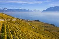 スイス ラヴォー地区の葡萄畑