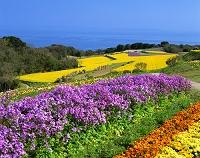 兵庫県・淡路島 あわじ花さじき ムラサキハナナと菜の花