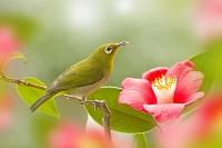 椿の花にメジロ