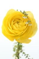 ラナンキュラスと白い小花