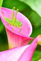 カラーの花にとまるキリギリスの幼虫
