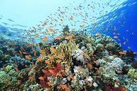 エジプト 海中 サンゴ礁 キンギョハナダイ