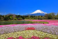 山梨県 富士芝桜まつり 富士山と竜神池の芝桜