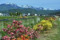 長野県 アヤメ街道より大町ツツジ 鹿島槍ヶ岳と五竜岳と農具川