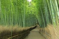 京都府 嵯峨の竹林