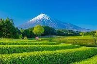 日本 春の茶畑と富士山