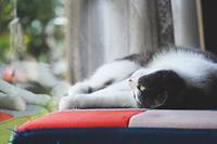 寝転がって外を見る猫