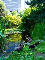 北海道 池のカモ