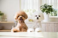 2匹のトイプードル 犬