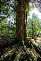 奈良県 春日大社境内のイチイガシの巨樹