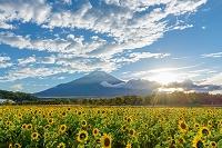 山梨県 ひまわりと富士山