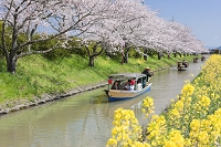 桜と菜の花と水郷船めぐり 滋賀県 近江八幡市