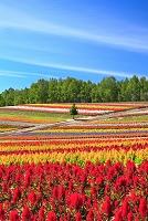 北海道 美瑛町 四季彩の丘 ケイトウの花畑