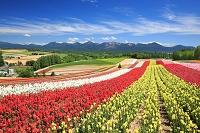 北海道 美瑛町 四季彩の丘 金魚草の花畑と十勝岳連峰