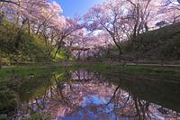 長野県 高遠城址公園 水面に投影する朝の高遠コヒガンザクラと桜...