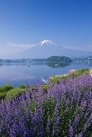 山梨県 キャットミント咲く大石公園より河口湖と富士山