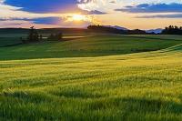 北海道 麦畑と夕景