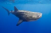ハワイ島 サメ