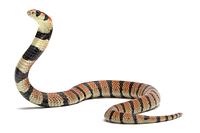 サンゴヘビ