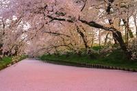 青森県 夕暮れ時の弘前城外濠の花筏と桜並木