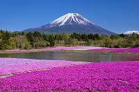 山梨県 芝桜と富士山