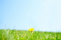 長野県 一輪のタンポポの花
