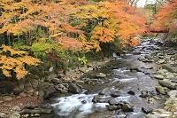 静岡県 修善寺温泉 楓の紅葉と楓橋と桂川