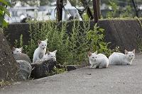 漁港に集まる白い猫