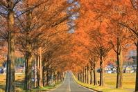 日本 滋賀県 メタセコイア並木
